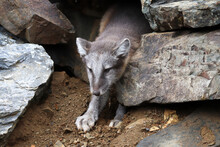 A Smal Artic Fox Crawls Out Of A Rock Shelter