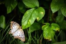 White Peacock Butterfly Aka Anartia Jatrophae