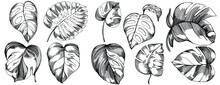 Monstera Vector Exotic Tropical Hawaiian Summer. Liana Beach Tree Jungle Botanical Leaves. Black And White Engraved Ink Art. Leaf Plant Botanical Garden Floral Foliage. Isolated Leaf Illustration Elem