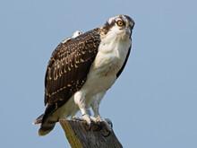 Juvenile Osprey Standing On Nest Post