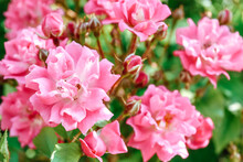 Beautiful Pink Roses In The Summer Garden.