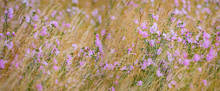 Malva Alcea - Greater Musk-mallow, Cut-leaved Mallow, Vervain Mallow Or Hollyhock Mallow In Field