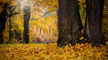 The Backround Of  Big Trees In The Forest At Autumn Fall Foliage At Autumn Season Image.