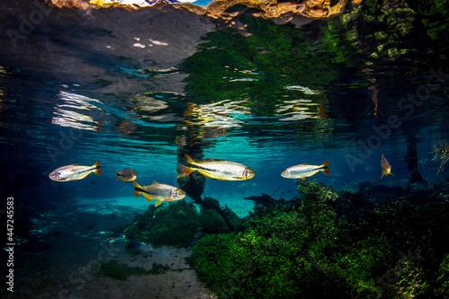 Fototapeta Scenic view of fish swimming in the water in Bonito, Mato Grosso do Sul, Brazil