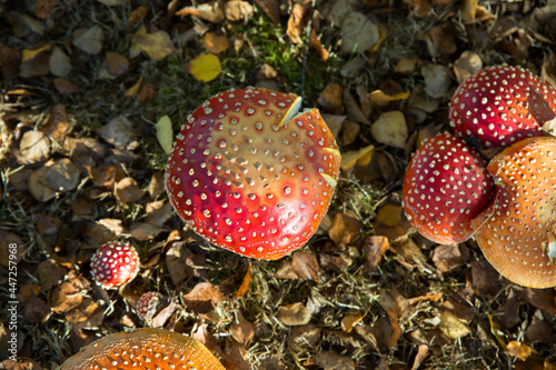 Photo Top view of the growing spotted fly agarics in the park in Buxton