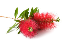 Callistemon Flowers