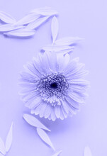 Purple Beautiful Gerbera Daisy Flower On Monochrome Background In Water With Ripples And Petals