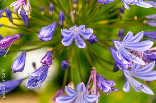 Canvas Print Agapanthus africanus pertenece a la familia Amaryllidaceae