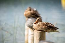 Ducks Resting On Sleeping Wooden Poles