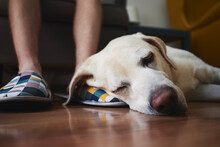 Old Dog Sleeping On Leg His Owner. Loyalty Labrador Retriever Resting At Home. .