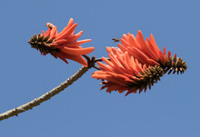 A Flowering Branch Of African Coral Tree