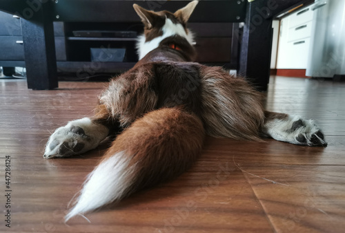 Tablou Canvas A brown and white Welsh Corgi cardigan is lying on its stomach on the floor, with its hind legs spread out