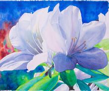 Handwritten Watercolor Of Beautiful Large White Azalea On Blue Background