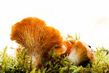 Golden Chanterelle Mushroom (Cantharellus Cibarius)