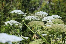 Giant Hogweed Phototoxic Plant In Norway