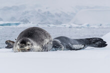 A Mother Leopard Seal (Hydrurga Leptonyx), Hauled Out On Ice Floe With Her Newborn Pup, Paradise Bay