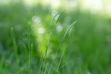 Cynosurus Cristatus, The Crested Dog's-tail, Is A Short-lived Perennial Grass In The Family Poaceae.