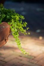 Green Vine In Plant Put In Garden Vertical