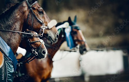 Fototapeta Portrait sports brown stallions in the bridle after the competition with premium rosettes