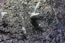 川の浅い場所で餌を獲ったりしているコサギ3羽