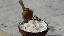 Robin Feeding From Insect Coconut Suet Shell On The Ground