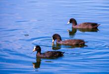 Country Goose Branta Canadensis