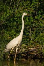 Great White Egret Standing, Danube Detlta, Romania