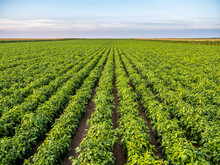 Green Pepper Plants At Agricultural Field