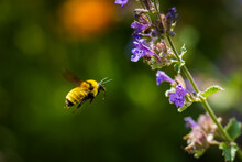 Bumblebee In Flight To A Purple Flower