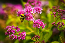 Bumblebee Hanging On To A Pink Flower