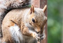 Garden Squirrel Nibbles At Bird Seed