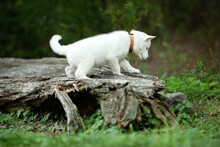 One White Siberian Husky Posing For The Camera In The Woods Among Green Plants And Trees In The Woods