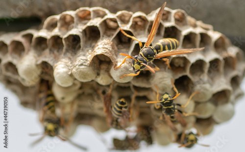 Foto European wasp (Vespula germanica) building a nest to start a new colony in the greenhouse