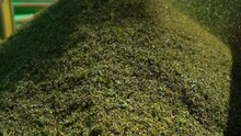 Pile Of Freshly Harvest Hemp Grains Loaded Into Trailer At Sunny Day. - Closeup Shot