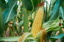 A Ripe Ear With Golden Corn Kernels. Juicy, Tasty Grains Are Ready To Cook.