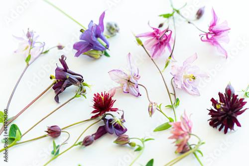 Fototapeta Pretty blooming white columbine or aquilegia flowers in summer season