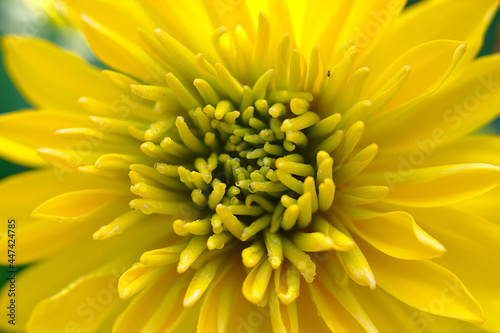 Fototapeta Yellow flower head with tiny dewdrops in close-up