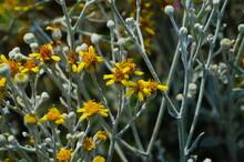 Bright Yellow Flowers Of Hardy Coastal Plant Senecio Cineraria 'Silver Dust' ,Senecio Maritimus, Senecio Candicans, Cineraria Maritima Contrast Against The Silver Grey Felted Leaves In Spring.