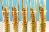 Fototapeta Big Ben - Wheat in test tubes genetically modified food concept