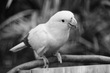 Golden Conure - Brazil Nature. Black And White Vintage Style.