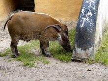 Red River Hog, Potamochoerus Porcus, Is Probably The Most Recently Colored Pig Representative