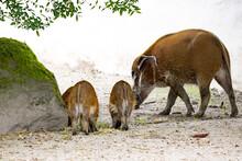 Female Red River Hog, Potamochoerus Porcus, Carefully Water Chicks Behind Food