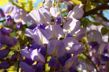 Wisteria Sinensis, Commonly Known As The Chinese Wisteria, Is A Species Of Flowering Plant In The Pea Family, Native To China.