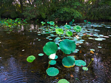 Water Lily Pads And Lotus Flowers In Abundance In A Shady Section Of An East Brunswick, New Jersey, Lake