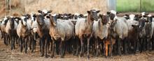 Sheep Farm. Group Of Sheep Domestic Animals.
