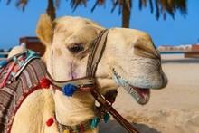 Portrait Of Mature White Purebred Friendly Arabic Or Somali Camel Dromedary, Wearing Festive Decorative Harness. United Arab Emirates