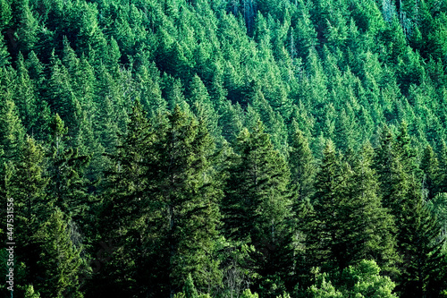 Pine Forest in Wilderness Mountains Fototapeta