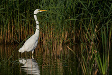 Great White Egret (Ardea Alba) Hunting Amongst The Reed Along The Edge Of A Lake At Ham Wall In Somerset, United Kingdom.