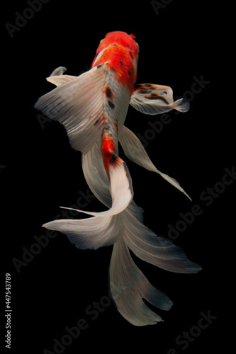 Fototapeta premium Koi fish Gold isolated on black background