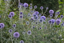 Globe Thistle Thornbush Flower Head.Bumblebee Pollinating Blue Spherical Flower Head Of Echinops Commonly Known As Globe Thistles.